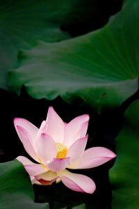 beautiful-lotus